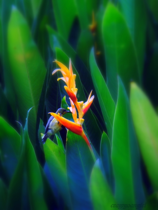Hummingbird on Heliconia