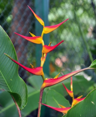 The Bird of Paradise Flower! Ain't they pretty?