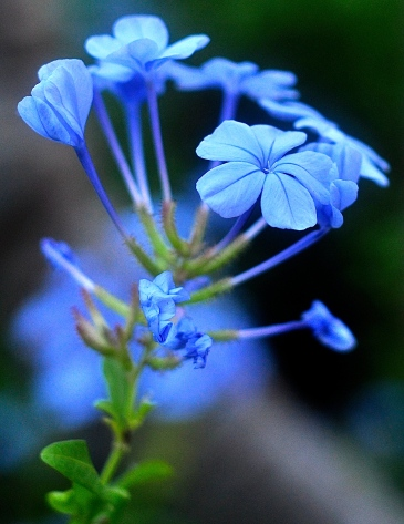 I loved these delicate Blue blooms :)
