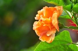 The lush hibiscus...