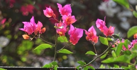 The hardy bougainvillaea...