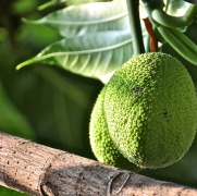 Scored Fruit. The Breadfruit tree in my Mom's garden is just a few years younger than me and infinitely more productive ;)