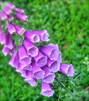 Foxglove! Deadly & Beautiful :)