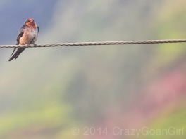 A Swallow...there were flocks of these too!
