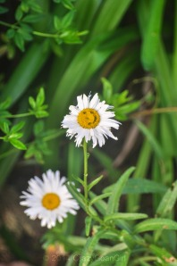 I was thrilled to find a smiley in this daisy :)