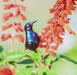 A Purple Sunbird