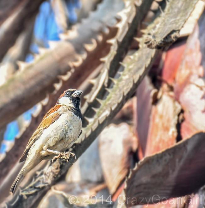 The ubiquitous Sparrow!