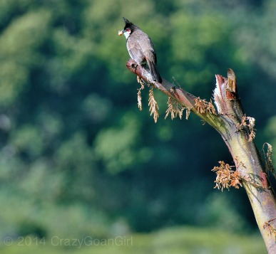 The Red-whiskered Bulbul